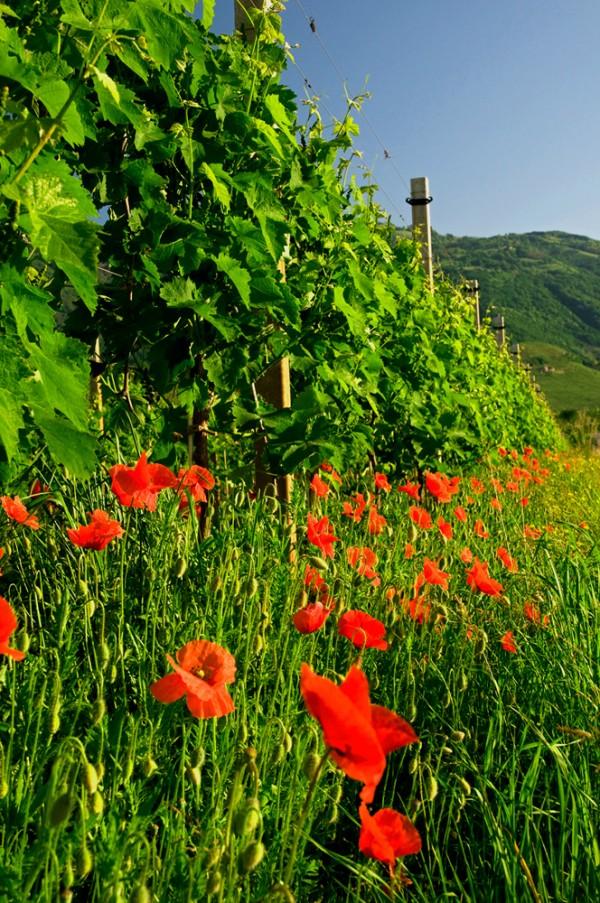 Pieds de vignes Prosecco au printemps
