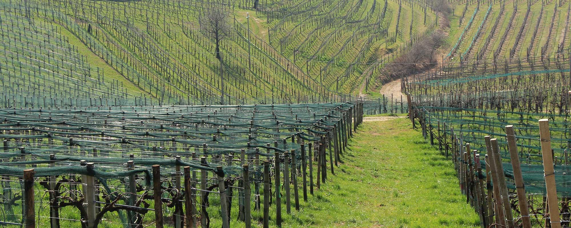 prosecco-printemps-vignes