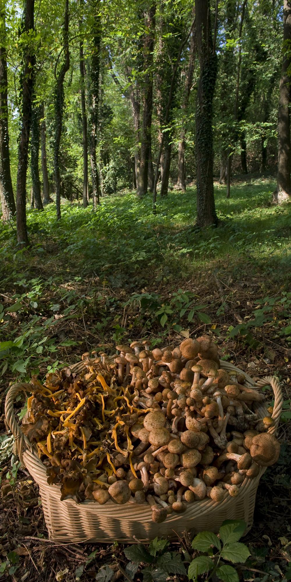 champignon de la province de Trévise