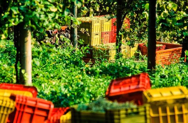 Cagettes rouges pour la récolte du prosecco
