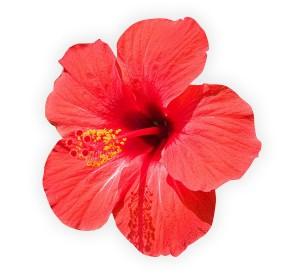 fleur-hibiscus-dert