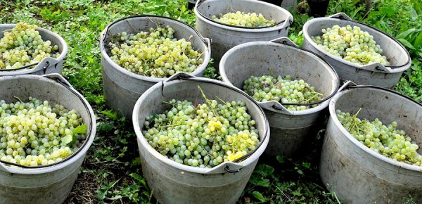 Vendanges Prosecco 2016